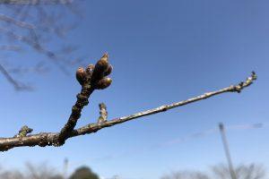 平成29年3月17日 やっとつぼみが膨らみ始めました。