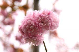 ラブリーな八重桜